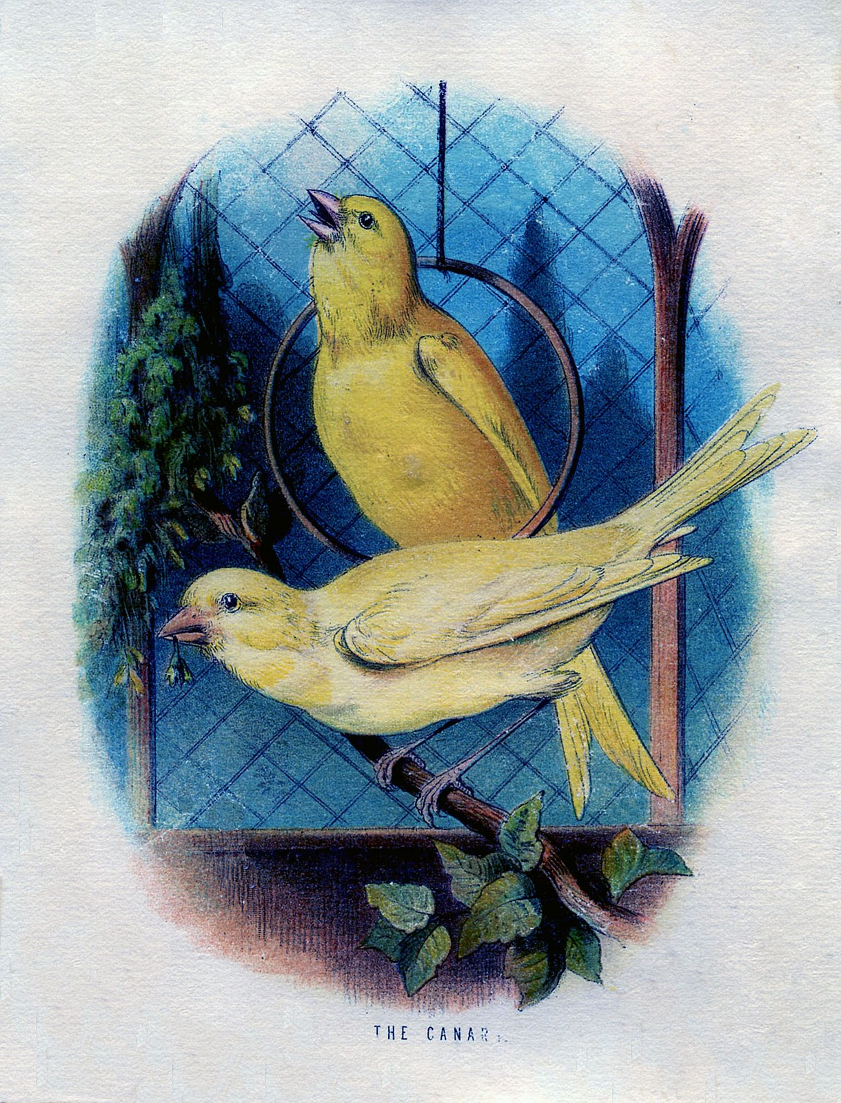 2 Canaries with Blue Background Picture