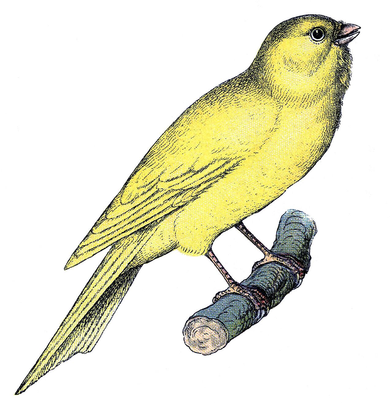 Canary Bird on Branch