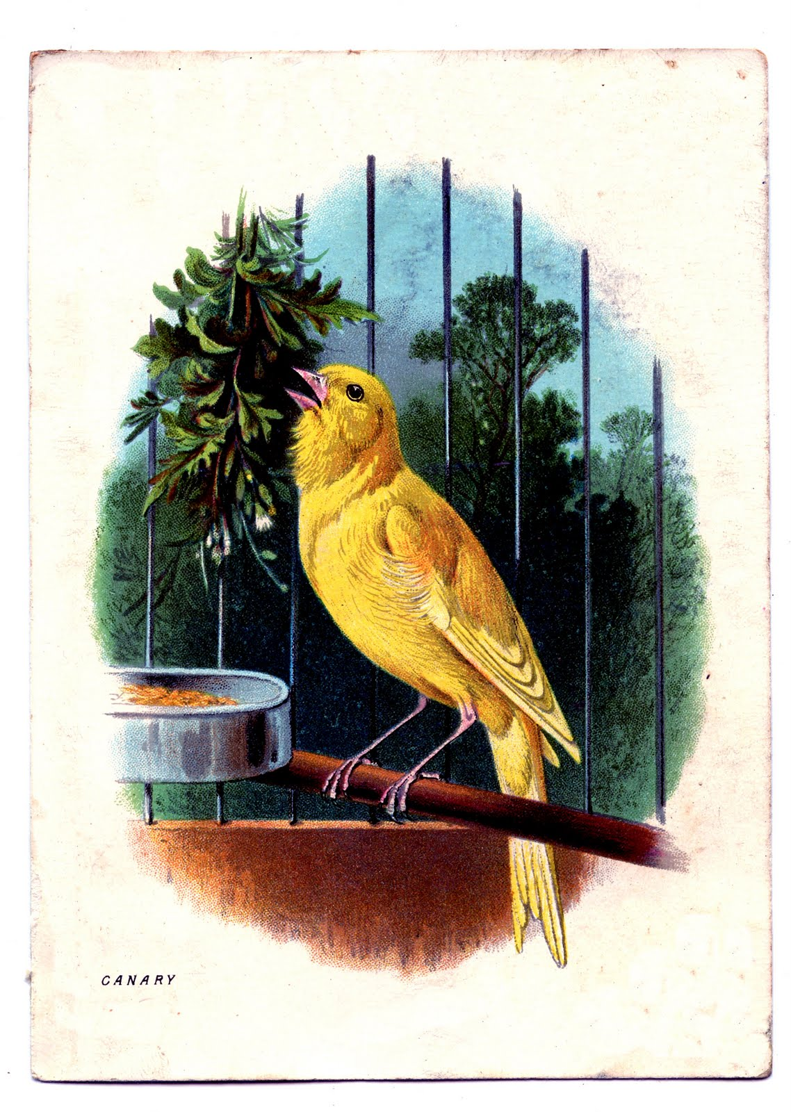 Singing Canary