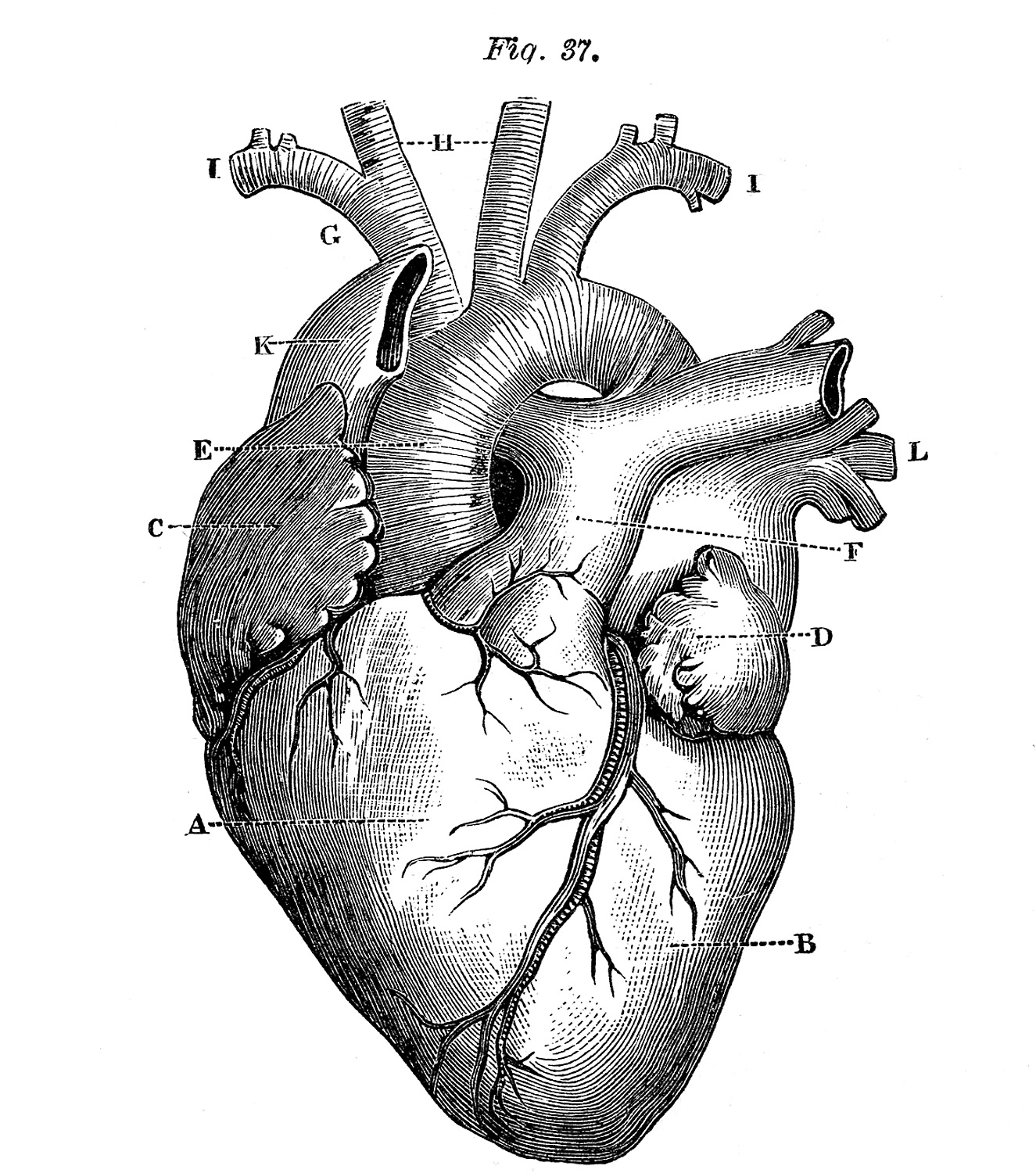 Vintage Black and White Anatomical Heart Illustration