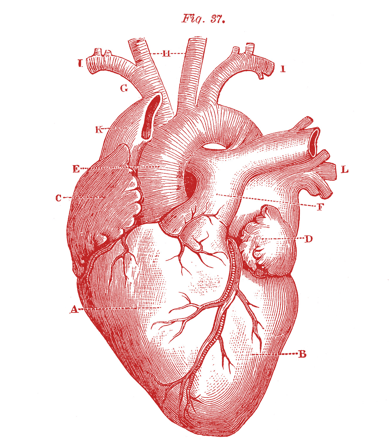 Red Vintage Anatomical Heart Illustration