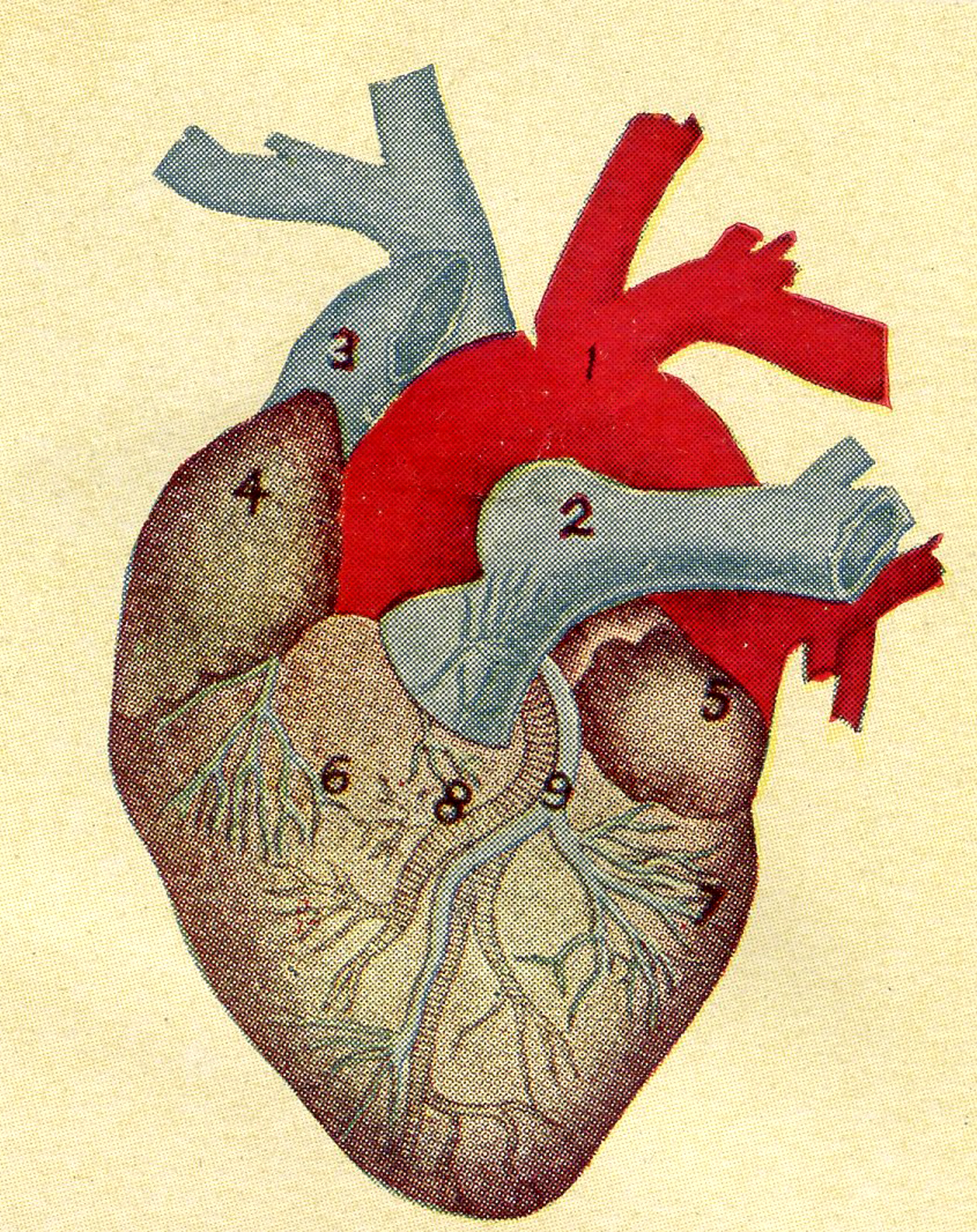 5 Anatomical Heart Pictures The Graphics Fairy