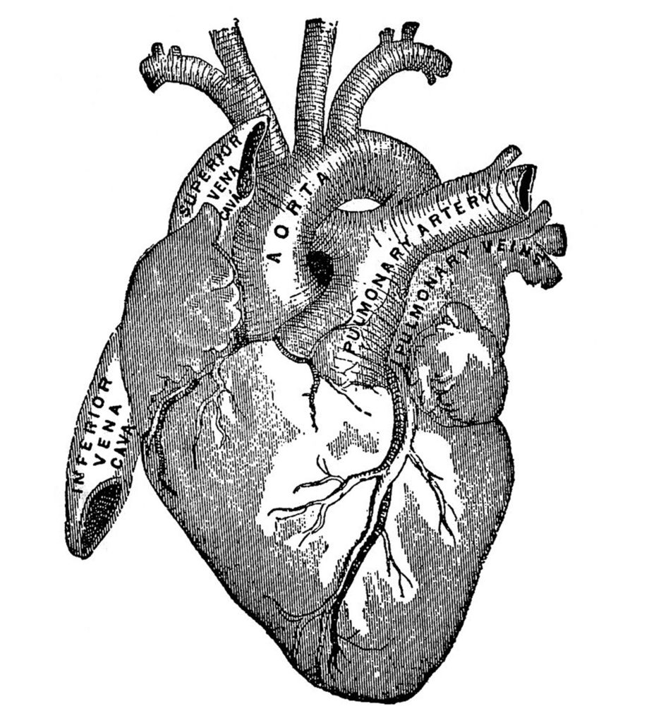 Vintage Anatomical Heart Clip Art