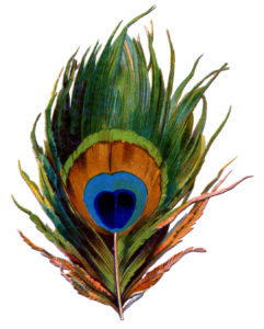Antique Peacock Feather Image