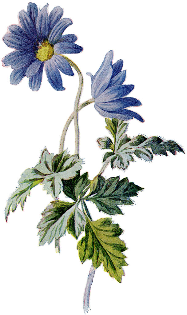 Blue Asters IMage