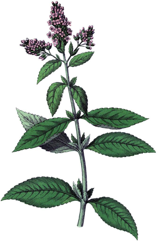 Botanical Herbs Peppermint