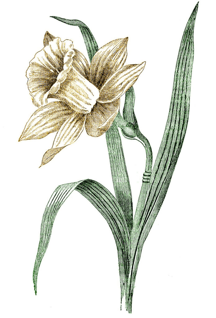 Daffodil Images