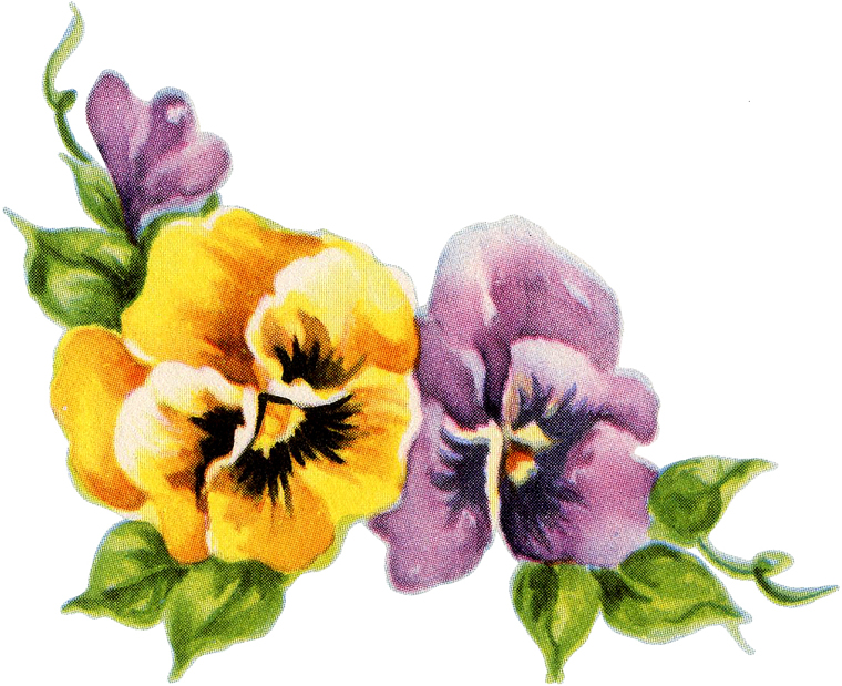 Yellow and purple Pansy Flowers