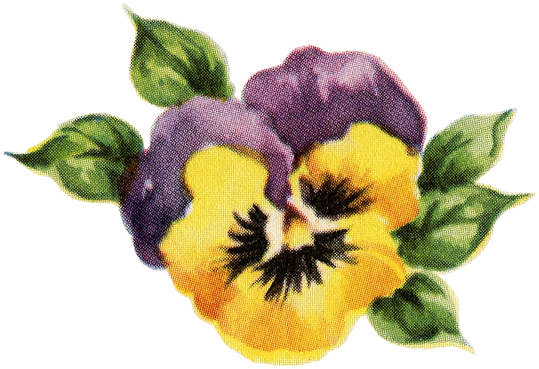 Yellow Purple Pansy Image