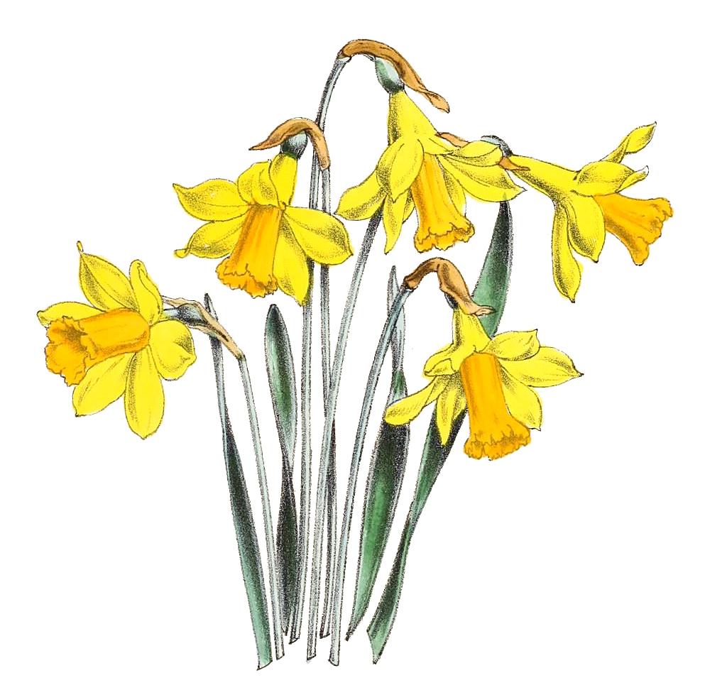 Yellow Small Daffodils Illustration