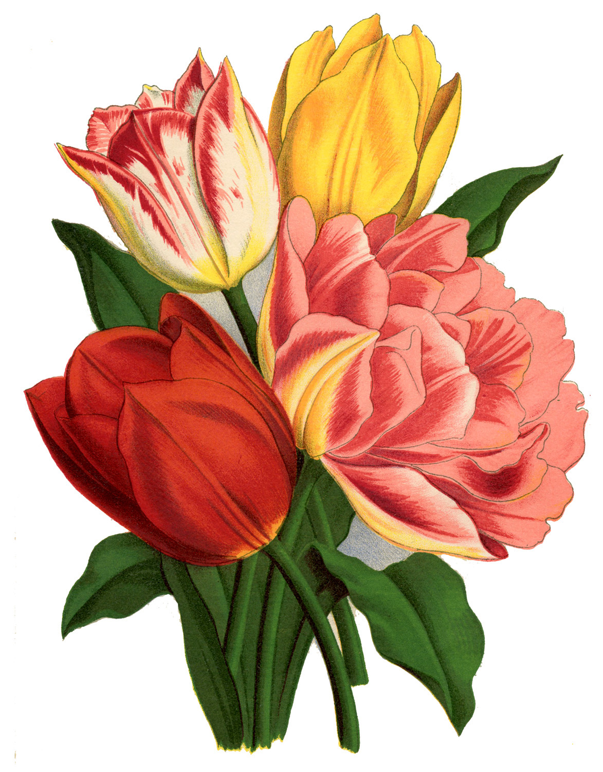 12+ Spring Tulips Images - The Graphics Fairy