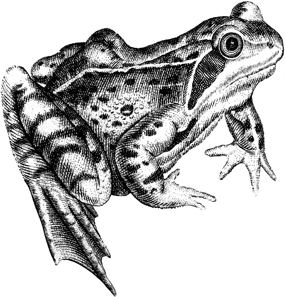 Frog Image Black and White