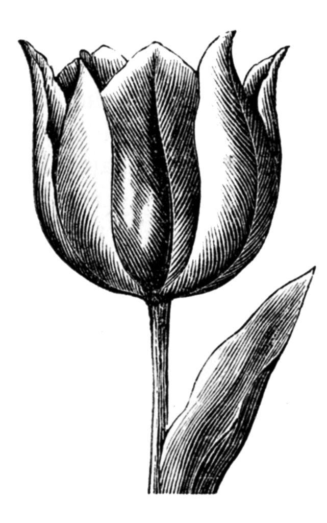 Vintage Graceful Tulip Image