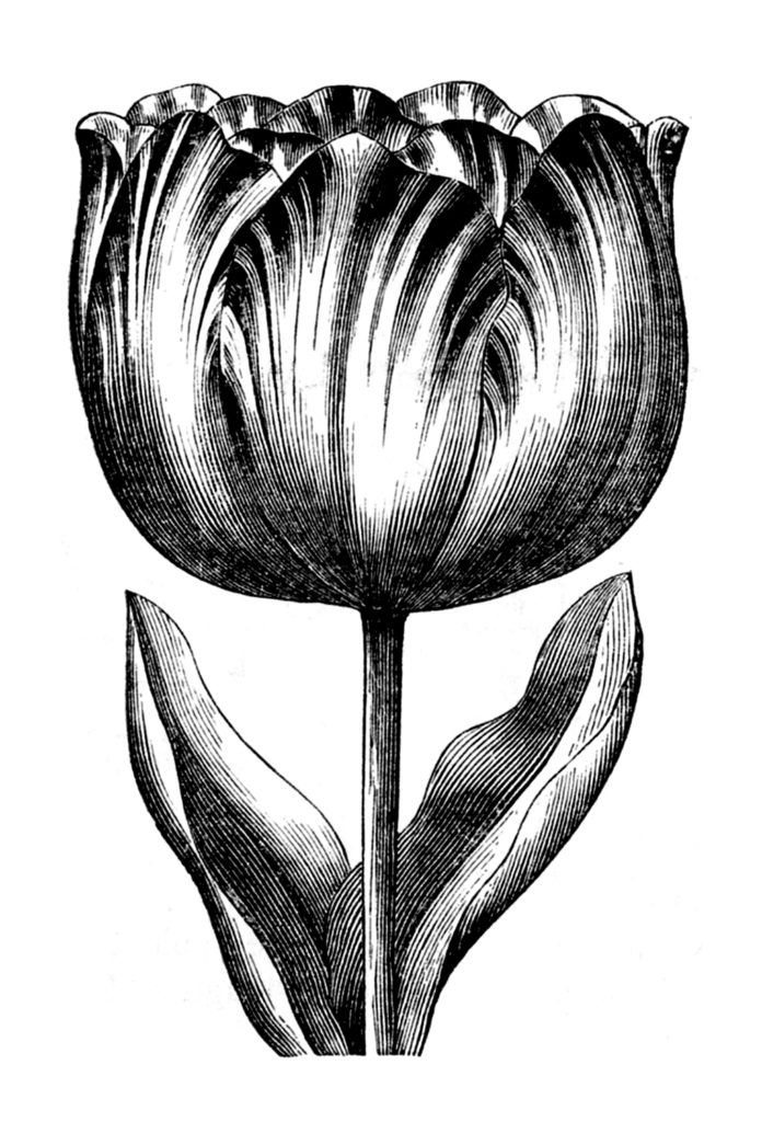 Rounded Petal Tulip VIntage Image