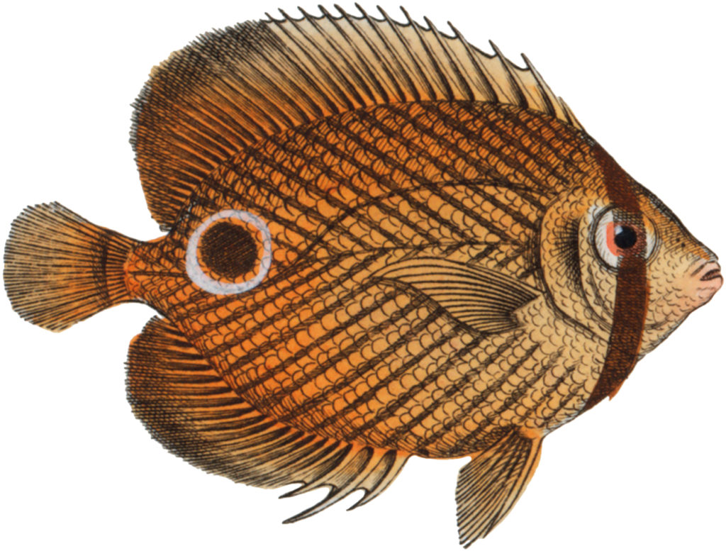 Orange Fish Image