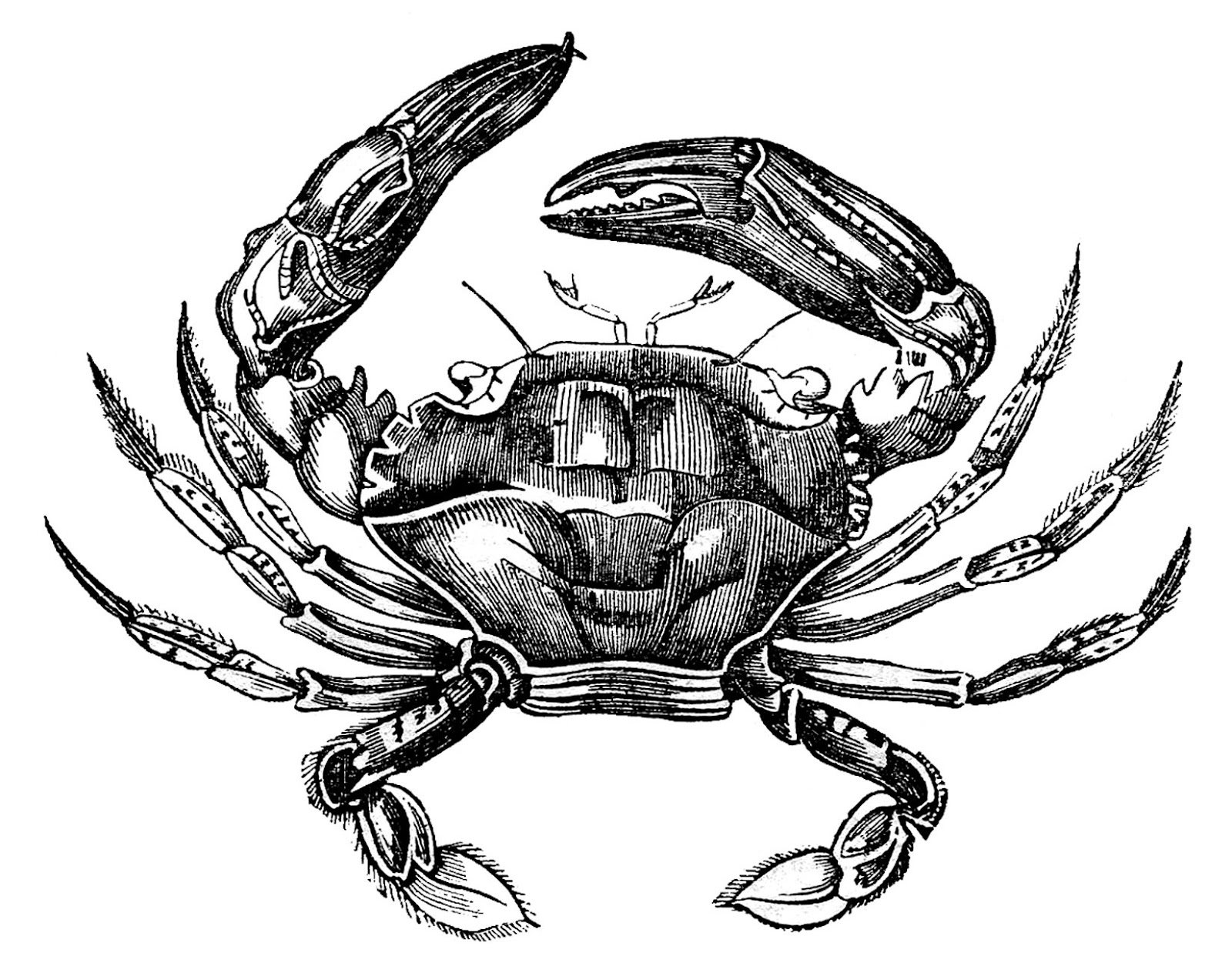 9 Crab Images Free - Hermit Crabs too! - The Graphics Fairy