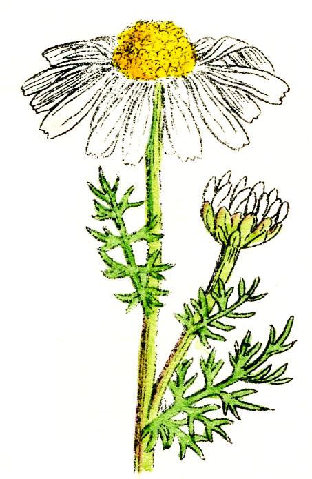 Flower-Daisy-GraphicsFairy004