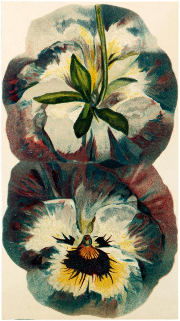 Pansy Blossom Image