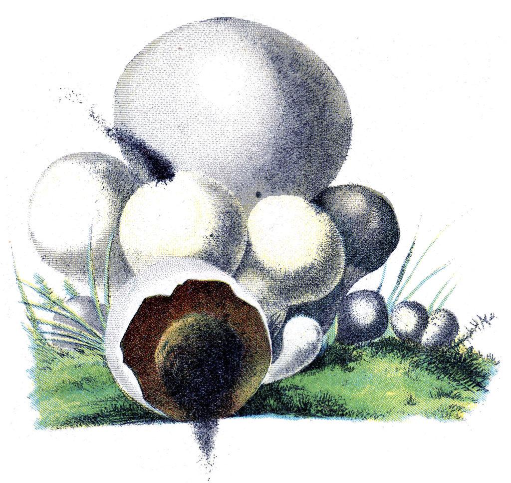 White Puffball Muchrooms