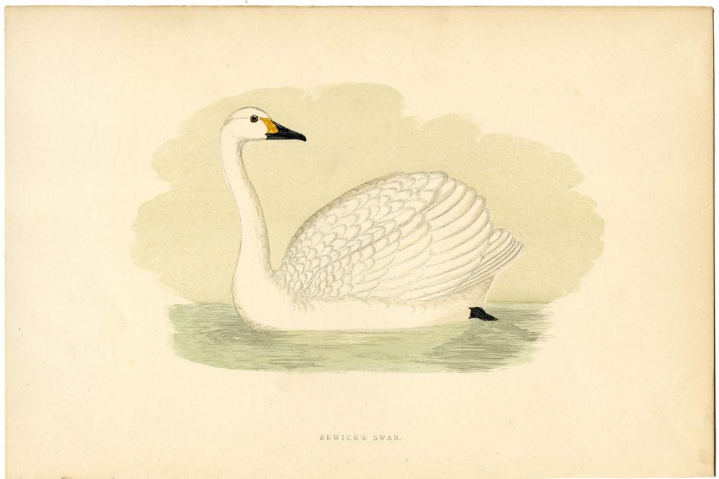 Swan Print Image