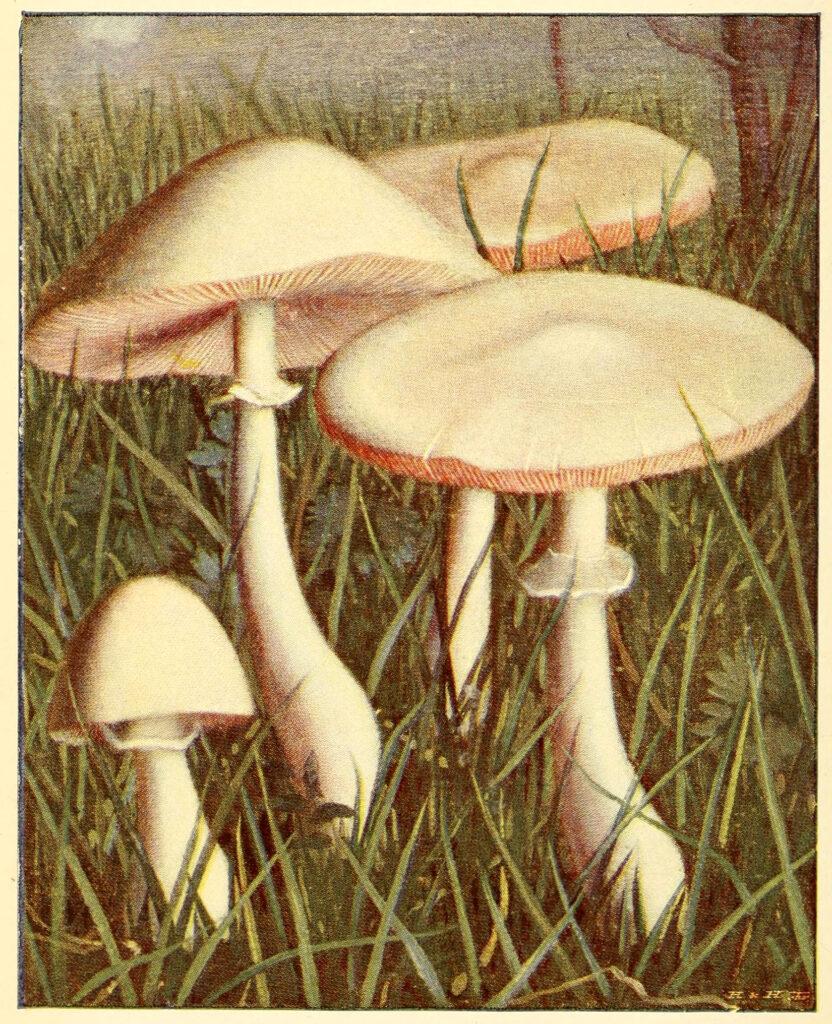White Mushrooms in Grass Image