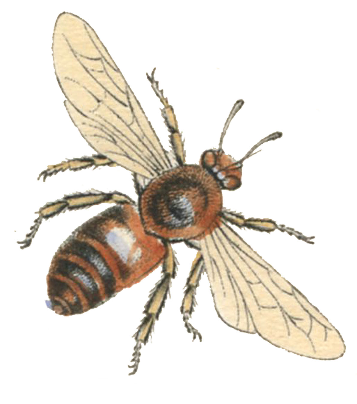 Natural History Bee Image