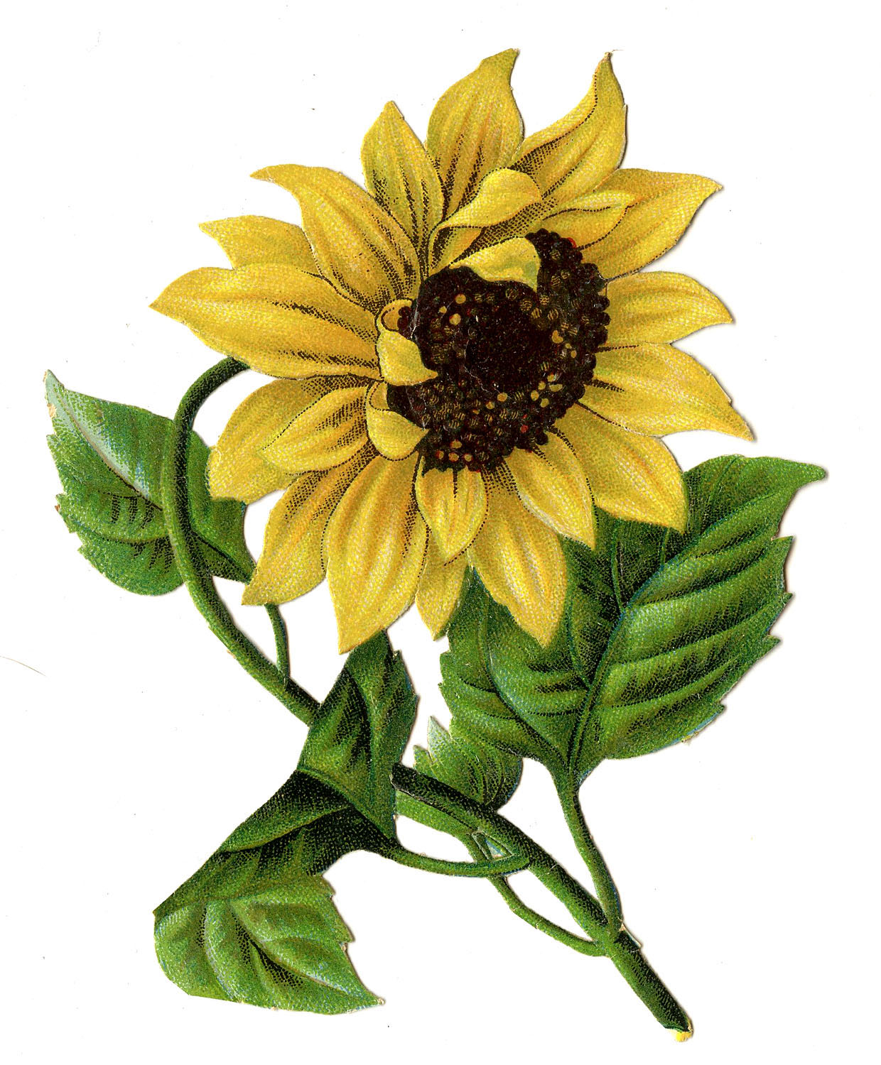 8 Sunflower Images - Beautiful! - The Graphics Fairy