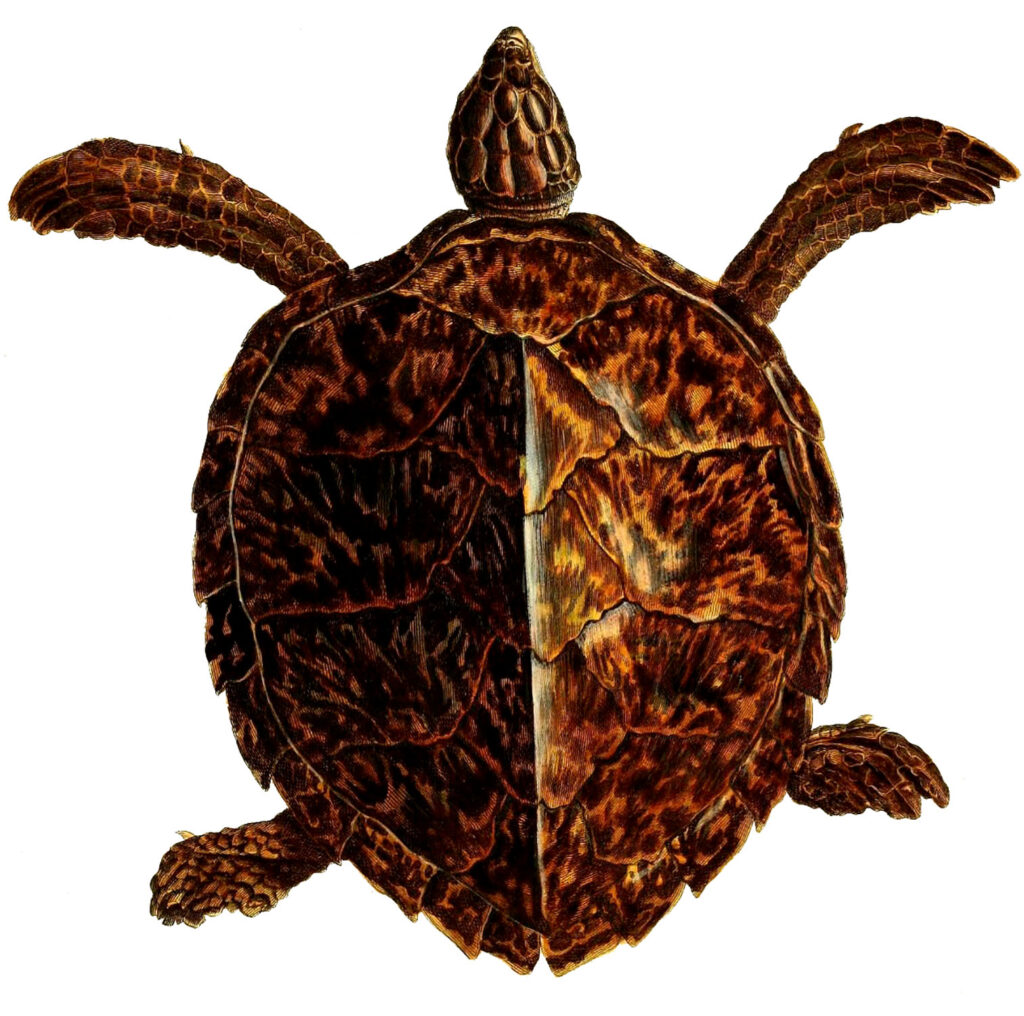 Brown Sea Turtle Image