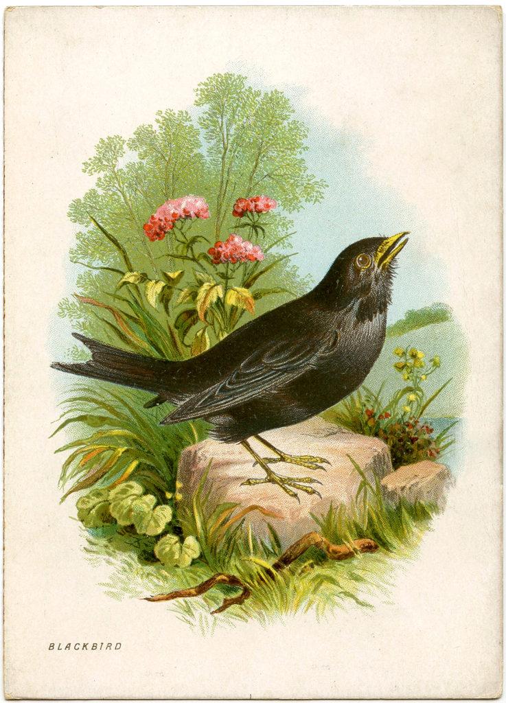 Blackbird Ephemera Bird Card