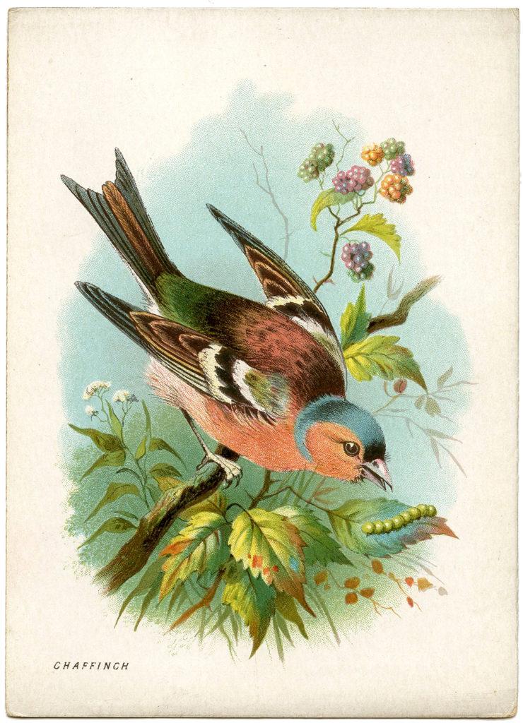 Chaffinch Bird Image