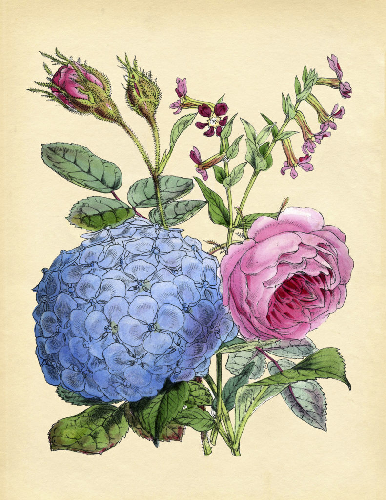 Pink Roses and Blue Hydrangea Print