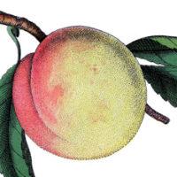 A close up of a  peach