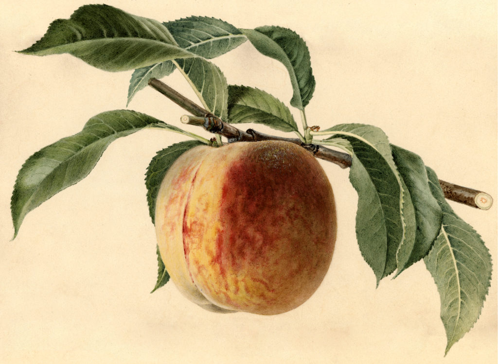 Watercolor Peach Image