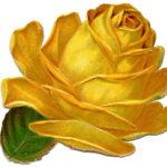 Yellow Scrap Rose