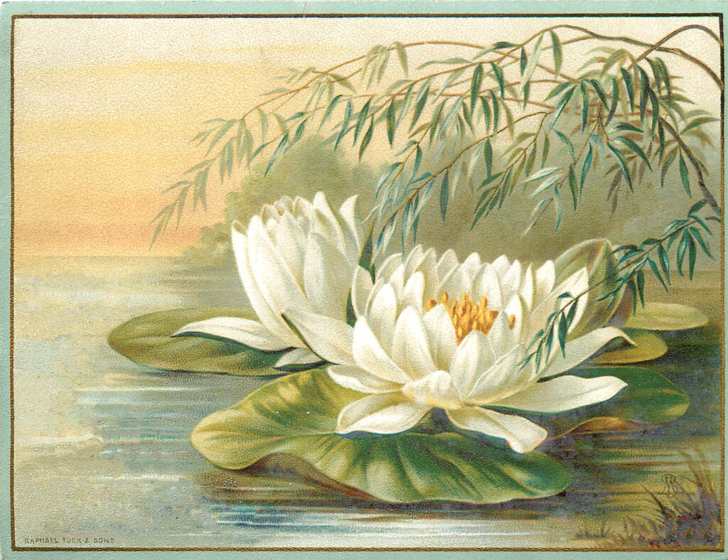White Water Lily Picture