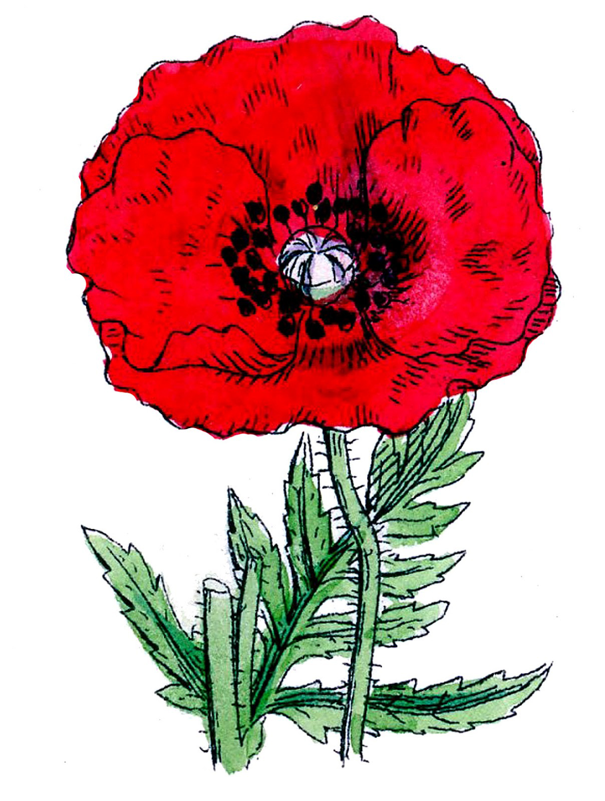 poppy-red-GraphicsFairy