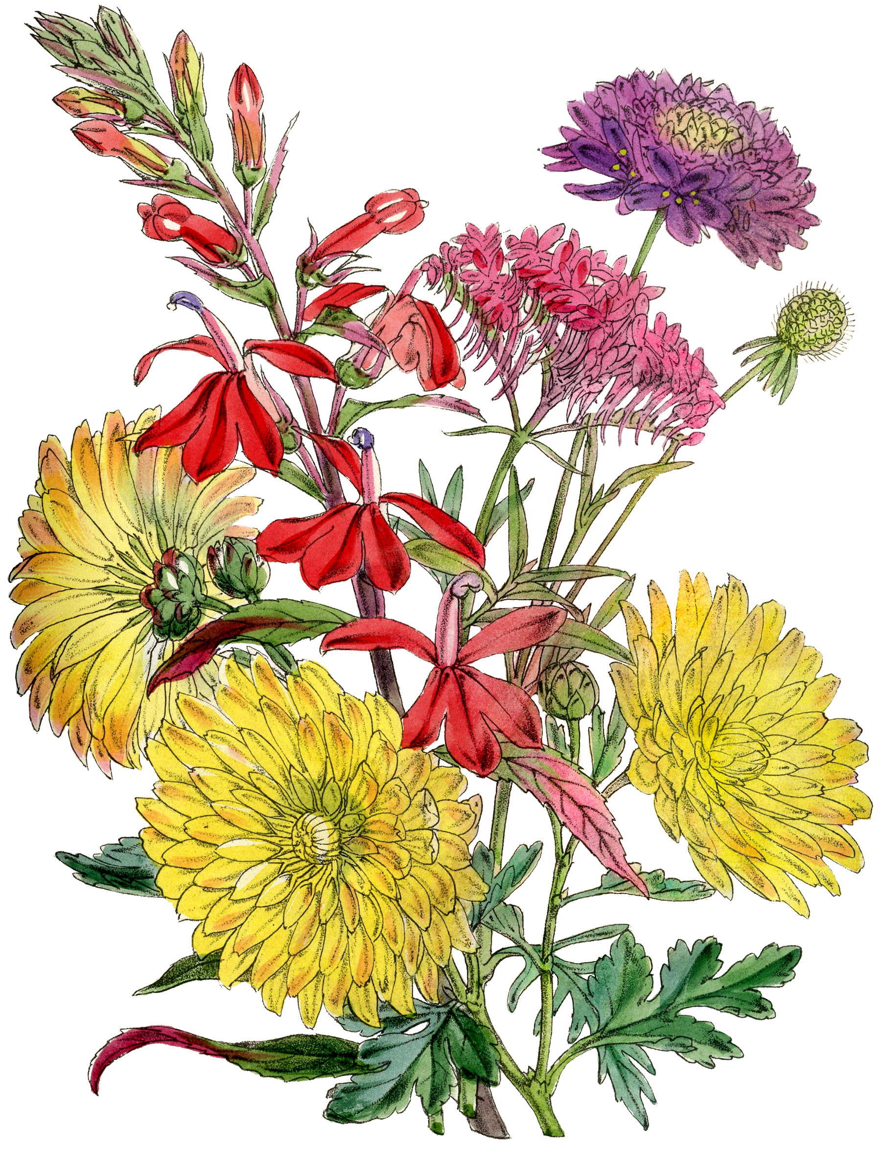 8 Chrysanthemums Images Vintage Mums The Graphics Fairy