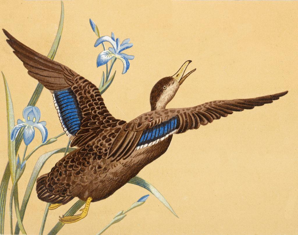 Mallard Duck Images