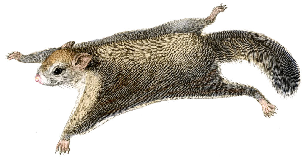 flying squirrel illustration