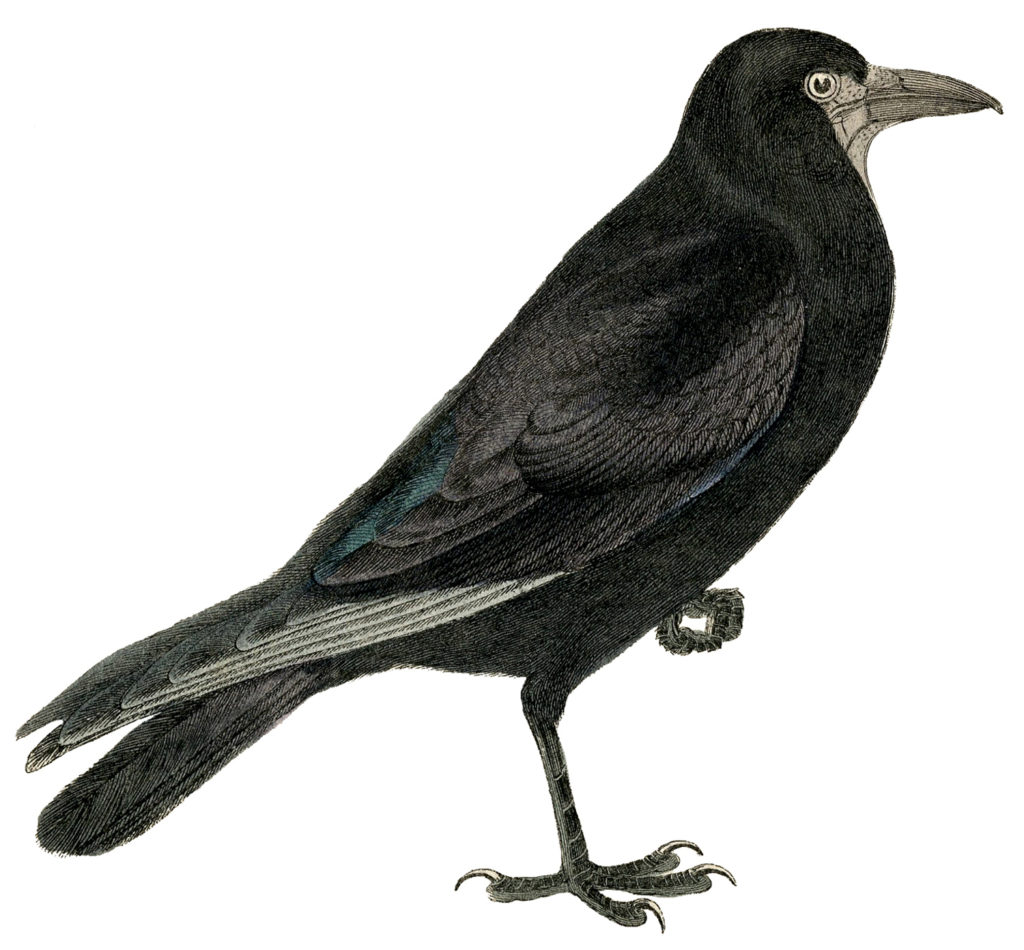 crow standing one leg image