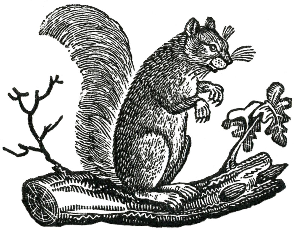 squirrel black white illustration