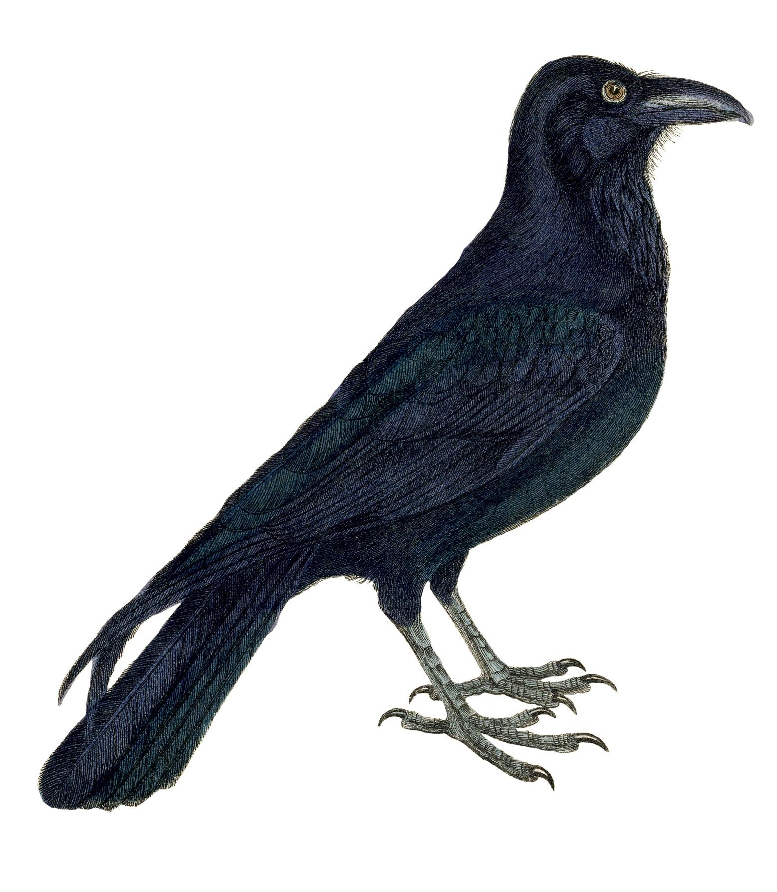 Free-Vintage-Crow-Image-2-GraphicsFairy.jpg (1557×1788)