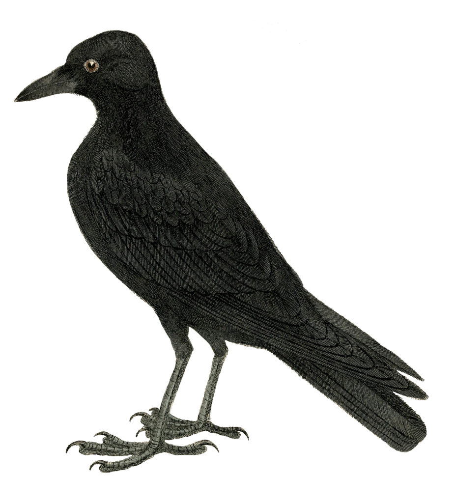 halloween black crow image