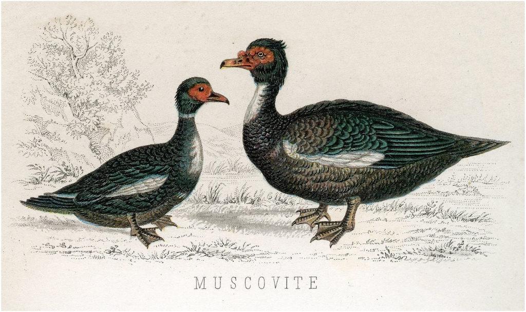 Muscovite Ducks Image
