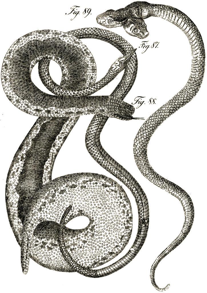 two headed snake clip art