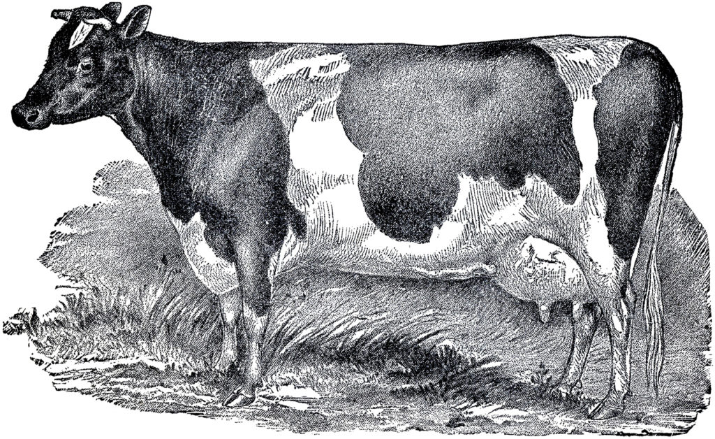 antique cow etching image