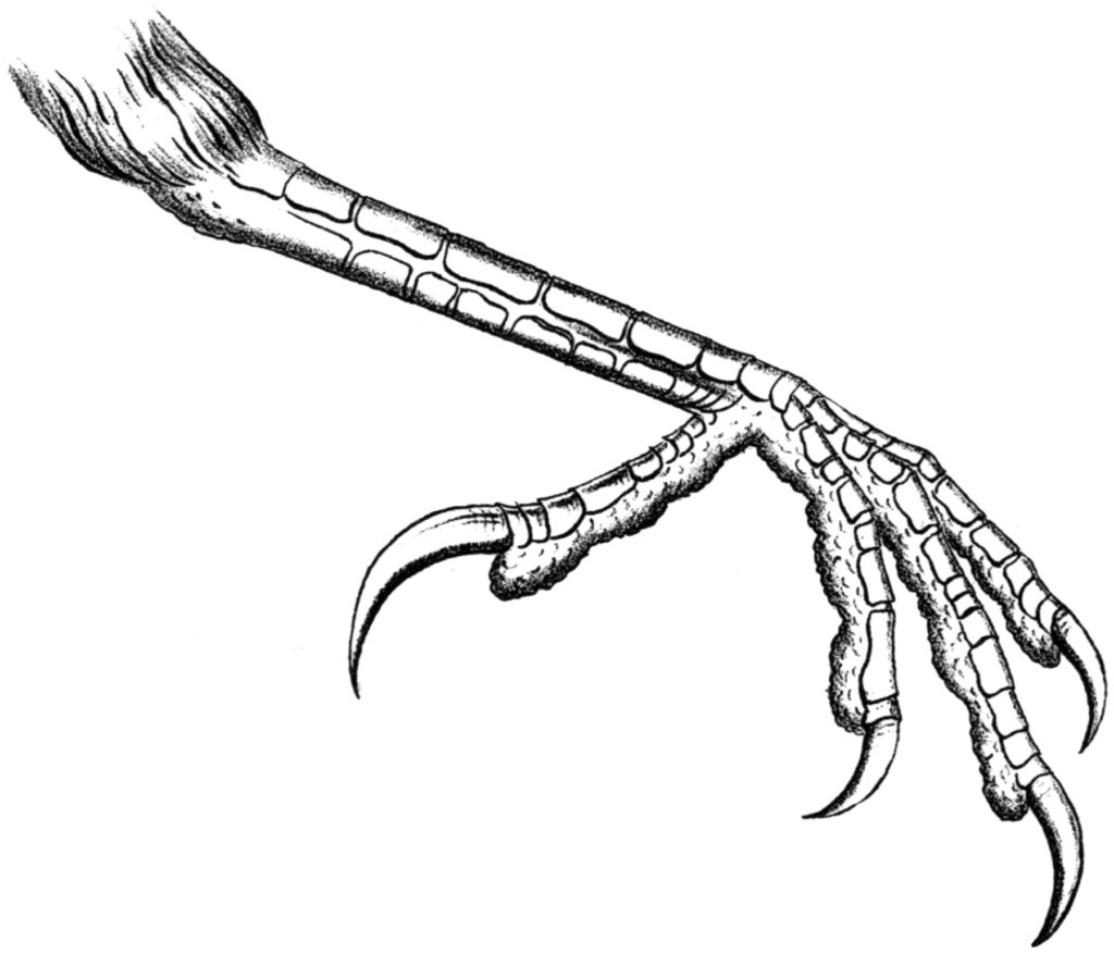 crow foot anatomy illustration