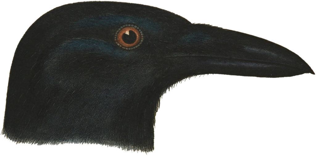 crow head clipart