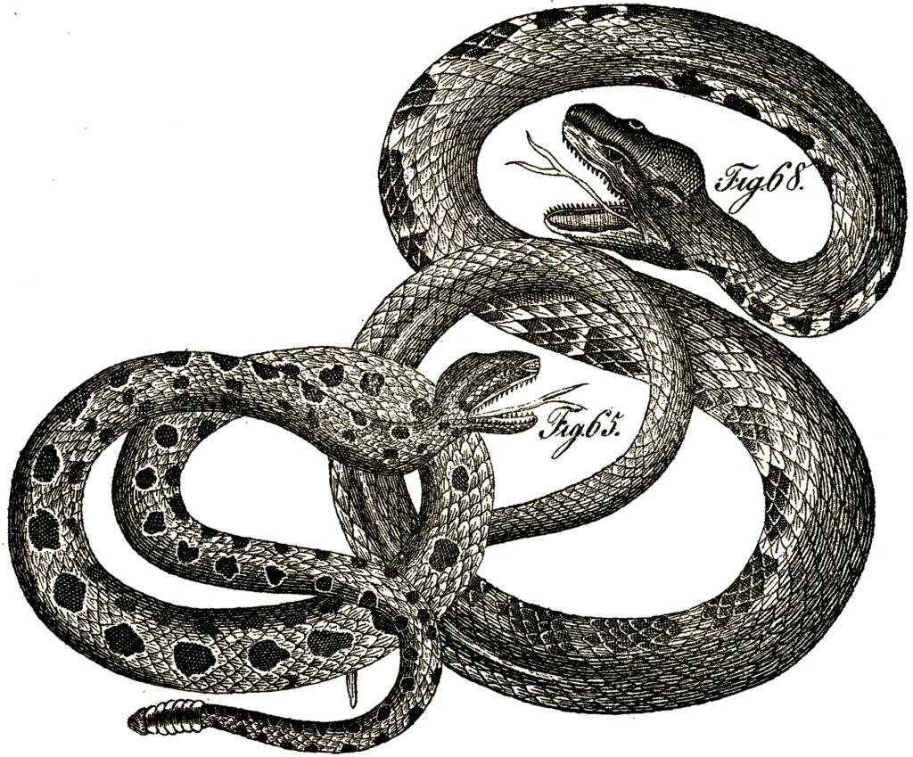 vintage snakes illustration