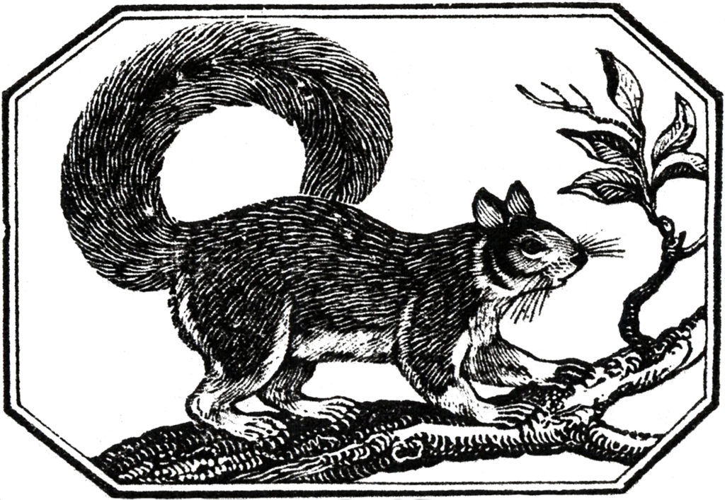 vintage squirrel clip art